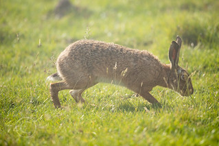 Wildlife around Magdalen June 2018 017 - Hare in the fog one morning