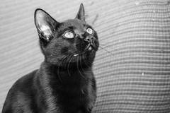 Bagheera (fcojavier1991) Tags: cat cats bn bw animals pets pet