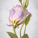 Lisianthus (MarleenHuber) Tags: lightbox lisianthus painterley stilllife