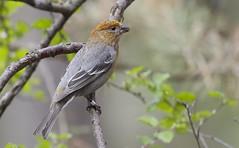 Female Pine Grosbeak
