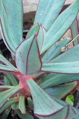 SUCULENTA (patriciamura) Tags: blossom flor flores flower flowers plantas jardin jardines garden cactus arbol tree coquimbo chile worldflowers nature flora botanic