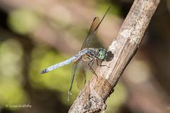 Blue Dasher Dragonfly 500_6905.jpg (Mobile Lynn) Tags: nature bluedasher dragonfly insects fauna insect wildlife naples florida unitedstates us
