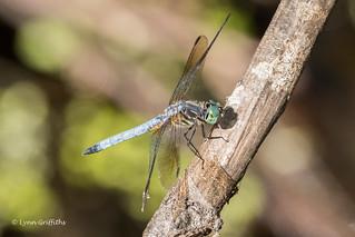 Blue Dasher Dragonfly 500_6905.jpg
