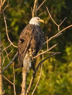 Bald Eagle in the morning light