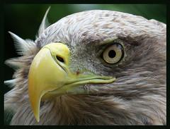 015856 2016 29 Juni Monde Sauvage La Reid Belgium Young Bald Eagle C (mensinkr) Tags: animal dieren baldeagle eagle arend visarend bird vogel wildlife wild birdofpray roofvogel nature feathers
