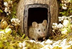 wild house mouse living in a garden log pile  (5) (Simon Dell Photography) Tags: house mouse log pile door coconut mossy moss logs wood stack garden wild wildlife cute funny detail close up awesome viral ears eyes george mini mildred sheffield s12 hackenthorpe decorated summer images mice two mouses animals rodents