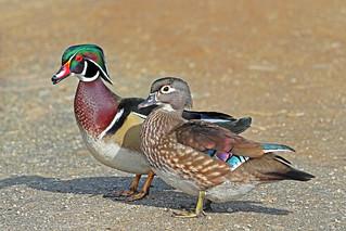 Wood Duck Couple 18-0331-0562