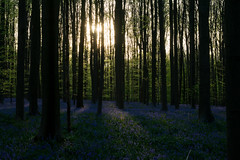 Sunrays and bluebells. (Azariel01) Tags: 2018 belgique belgium halle hallerbos bois woods jacinthe hyacinth spring printemps fleurs flowers bloom floraison bluebells bluecarpet tapisbleu soleil sun rayons rays trees arbres shadows ombres sunset couchédesoleil