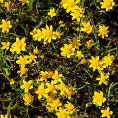 Gold (LeftCoastKenny) Tags: edgewoodpark flower wildflower