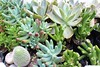 SUCCULENT PLANTS (PINOY PHOTOGRAPHER) Tags: alfonso castaneda nueva viscaya luzon wow angle view picturesque smorgasbord trek lines curves scene portrait angles frame image wonderful picture photography art flickr philippines trip tour travel asia world color pov framing amazing popular interesting canon choice camera work top famous significant important item special topbill light creation awesome visual viajar litrato larawan line curve like