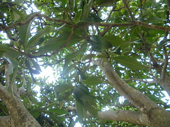 DSC02985 (classroomcamera) Tags: outside outdoor outdoors tree trees treetop treetops leaf leaves leafy branch branches up down above below light lighting sun sunlight sunshine green brown trunk trunks