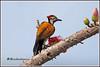7806 - flame back woodpecker (chandrasekaran a 47 lakhs views Thanks to all) Tags: flamebackwoodpecker woodpecker birds bombaxceiba flowers trees nature india chennai canoneos6dmarkii tamronsp150600mmg2