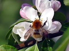Bourdon sur pommier d'ornement (zogt2000 (No Video)) Tags: jardin garden bourdon