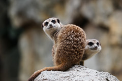 狐蒙 (aelx911) Tags: a7rii a7r2 sony glens fe70200 70200 animal landscape bokeh taiwan taipei zoo 台灣 台北 台北動物園 狐蒙