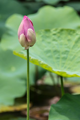 Upstanding (A Different Perspective) Tags: bali ubud flower green lily ornament pink wood