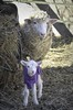 Mom and Ram Lamb (Jo Zimny Photos) Tags: ramlamb mom baby sheep farm neighbours straw shy cute yard
