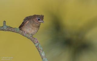Northern Cardinal (baby)
