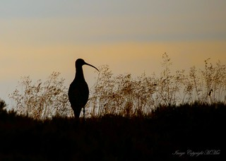 Curlew silhouette.