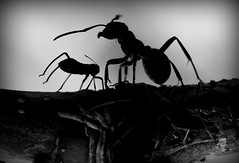 AaA - Aphid and Ant (stempel*) Tags: polska poland polen polonia pentax k30 gambezia macro makro silhouettes mrówka ant mszyca aphid bw czb