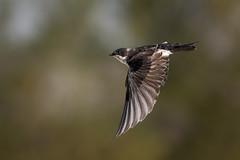 Swift Swallow (Patricia Ware) Tags: birdsinflight california canon ef400mmf4doisiiusmlens handheld irvine sanjoaquinmarsh tachycinetabicolor treeswallow ©2017patriciawareallrightsreserved unitedstates us specanimal sunrays5