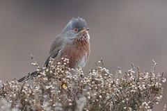 Dartford Warbler (KHR Images) Tags: dartfordwarbler sylviaundata wild bird dunwichheath suffolk heathland heather nature wildlife nikon d500 kevinrobson khrimages