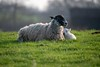 Blissfully peaceful Ewe and her contented lamb. (jor5472) Tags: sheep farming england northamptonshire peaceful harlestone spring lamb ewe