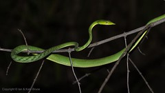 The Asian Green Vine Snake (Ian.Kate.Bruce's Wildlife) Tags: greenvinesnake longnosedwhipsnake ahaetullanasuta colubridae snake wildlife nature reptile ianbruce katebruce sigiriya srilanka