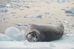Leopard-seal-1 (A. Gosewehr) Tags: antarktis antarctica seal leopardseal seeleopard carnivore ice resting