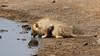 Old Lion, Drinking (C McCann) Tags: namibia etosha nationalpark lion cat drinking male animal wildlife wild scars scar