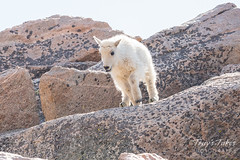 Mountain Goat kid bounds by - Sequence - 2 of 17