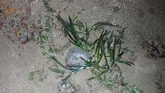 Tape seagrass (Enhalus acoroides) cropped (wildsingapore) Tags: chek jawa pulau ubin seagrasses enhalus acoroides island singapore marine coastal intertidal shore seashore marinelife nature wildlife underwater wildsingapore