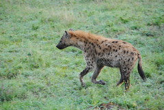 Пятнистая гиена, Crocuta crocuta, Spotted Hyena (Oleg Nomad) Tags: пятнистаягиена crocutacrocuta spottedhyena африка танзания серенгети животные природа сафари africa tanzania serengeti nature animals safari travel