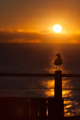 Gull on fence at dawn (Mikey Down Under) Tags: australia australian bird bright coast coffs contrejour dawn daybreak fence gull headland lookout northcoast northern nsw ocean orange pacific post rail seagull silhouette silhouetted silver sun sunrise wild wildlife woolgoolga portrait