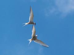 Aerial Ballet (Maria-H) Tags: arctictern england unitedkingdom gb sternaparadisaea longnanny beadnell northumberland northumbria uk olympus omdem1markii panasonic 100400