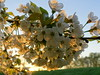 Abundance (brittajohansson) Tags: blossom cherrytree tree flowers spring fields field flower bloom cherryblossom sky sunrise morning early