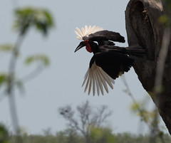 Southern Ground-Hornbill (Bucorvus leadbeateri)_DSC2618-editCC (Dave Krueper) Tags: africa southafrica birds birding bird groundhornbill
