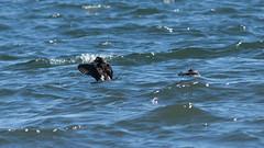 Long-tailed_Duck_3045ar (Grandpa577) Tags: clangulahyemalis longtailedduck