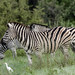 PLAINS ZEBRA: AFRICAN BAR CODES