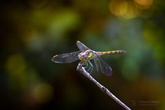 Dragon Fly of Fire (Thomas TRENZ) Tags: feuer fire nikon tamron thomastrenz dragonfly hunter iamnikon insect insekt jäger libelle macro macrophotography makro makrofotografie natur nature nikonaustria tamronlens withmytamron