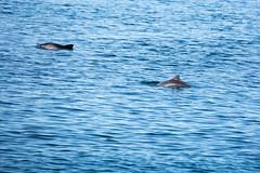 Harbour Porpoises (ejwwest) Tags: hebrides dolphins scotland whalewatch argyllandbute mull minkewhales tobermory sealifesurveys unitedkingdom gb