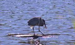 Great Blue Heron (aschroeder79) Tags: greatblueheron heron bird wildlife