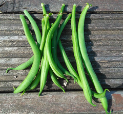 First mini crop of french beans 2018 (olicanae) Tags: north yorkshire whitby garden french beans