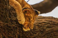 Tanzania90 (Massimo Equestre'pictures) Tags: africa tanzania leone zebra safari giraffa serengeti