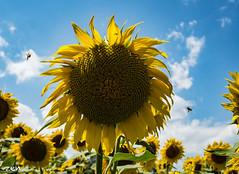 GiraSole (zen56zen) Tags: girasole sunflowers giallo zen olympus mature nuvole clowds yellow api flowers fiori