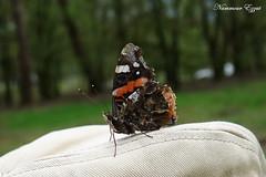 Vulcain Vanessa atalanta    (3) (Ezzo33) Tags: france gironde nouvelleaquitaine bordeaux ezzo33 nammour ezzat sony rx10m3 parc jardin papillon papillons butterfly butterflies specanimal vulcain vanessa atalanta