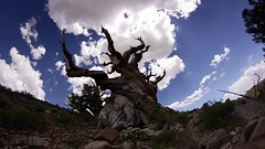 Clouds Passing Over Bristlecone Pines (looking south) (RStonejr) Tags: explore 8mmfisheye rokinonfisheye 8mmrokinonfisheye idk idon'tknow happy natural discoverytrail discovery history weather pretty camera 7dwf 60fpstimelapse timelapse 60fps daytime day unofficial flickr outside ancientflora flora deadtree summersky art gnarlytree twistedtree twisted gnarly tree skye sky travel fisheye 8mm rokinon bristlecones bristleconepines ancient california 10000elevation mountains canon clouds panolapse cloudy trail summer 2018 bristlecone pines ancientbristleconepines whitemountains 80d canon80d inyo inyocounty owensvalley ross stone rossstone nature natur old new passingclouds