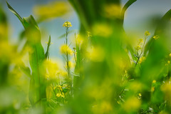 Dreaming in the corn field (Ernst_P.) Tags: aut inzing österreich tirol mais raps pflanze walimex samyang 135mm f20 corn maíz yellow amarillo gelb blume blüte flower flor colza rapeseed