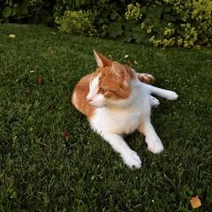Het gras is hier zeker groener!! (Harry -[ The Travel ]- Marmot) Tags: poes kat kater rodekater jong cat pussycat young alert garden amsterdamnoord