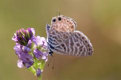 Azuré de la luzerne (Nature B★★X) Tags: img3808 butterfly proxy papillon approved blue common zebrablue leptotespirithous couleur color nature sauvage wildlife butterflies