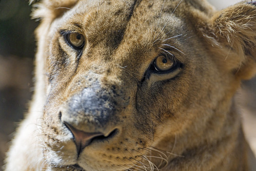 Closeup of a lioness